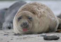 Die Nordsee - Unser Meer - Kegelrobben sind an der...rben.